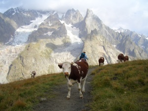 alpine bovine